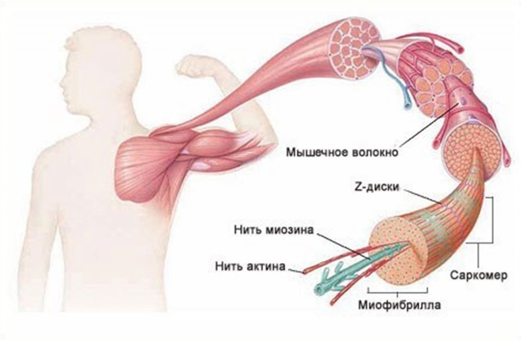 мышцы-внутри-1040x681